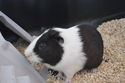 Yoshi, rongeur Cochon d'Inde