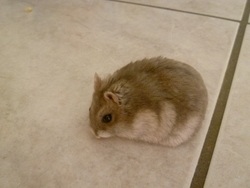 Toufou, rongeur Hamster