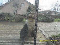 Touinie, chien Bearded Collie