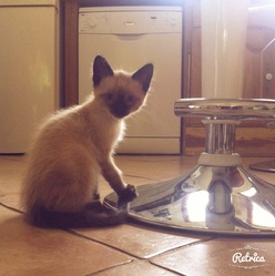 Toulouse, chat