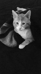 Toulouse, chat Européen