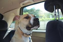 Toumai, chien American Staffordshire Terrier