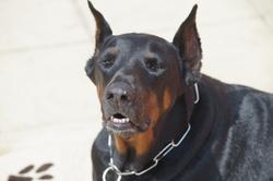 Toundra, chien Dobermann