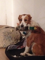 Toundra, chien