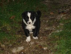 Toupie, chien Border Collie