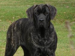 Toupie, chien Cane Corso