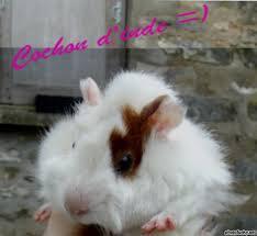 Toupie, rongeur Cochon d'Inde