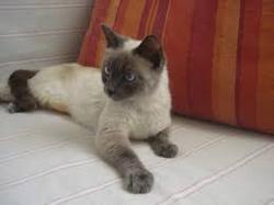 Toupie, chat Siamois