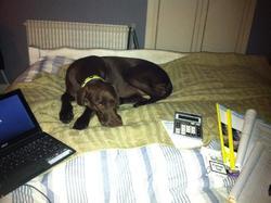 Toupou, chien Braque allemand à poil court