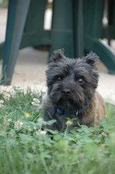 Toupy, chien Cairn Terrier