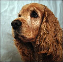 Toupy, chien Cocker anglais
