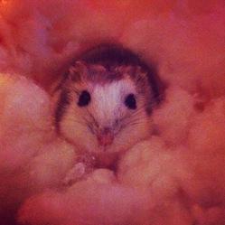Tourbillon, rongeur Hamster