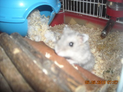 Tournesolle, rongeur Hamster