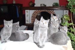 Tous Freres Et Soeurs, chat Chartreux