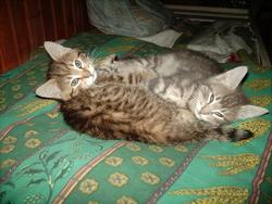 Toutouille, chat Sibérien