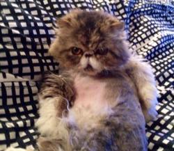 Toutoune, chat Persan