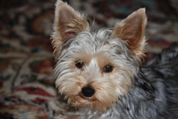 Toy, chien Yorkshire Terrier
