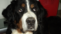 Toy, chien Bouvier bernois