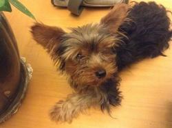 Toy, chien Yorkshire Terrier