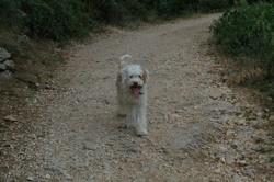 Trésor, chien Chien d'eau romagnol