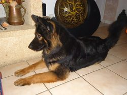 Tracy, chien Berger allemand