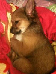 Tresor, chien Chihuahua