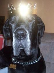 Trésor, chien Dogue allemand