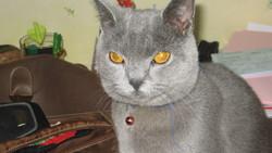 Tresor, chat Chartreux