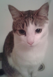 Trésor, chat Européen