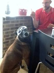 Tricky, chien Berger belge