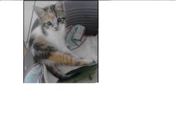 Tricola, chat Européen