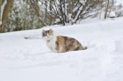 Triskelle , chat Gouttière