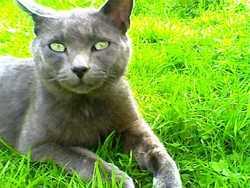 Tristan Dit Minougri, chat Européen