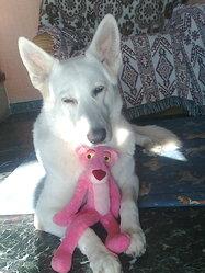 Troika Dite Tina, chien Berger blanc suisse