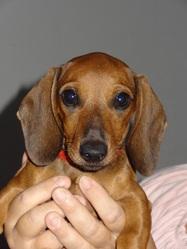 Truf, chien Teckel