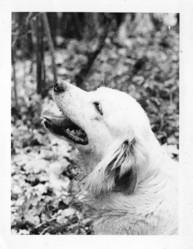 Truffe, chien