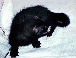 Truffe, rongeur Furet
