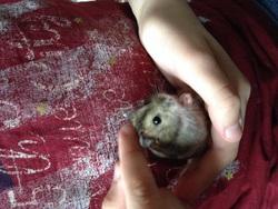 Truffy, rongeur Hamster