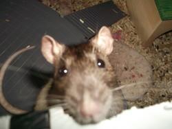 Truffy, rongeur Rat