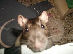 Truffy Décédée, rongeur Rat