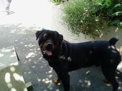 Tryball Au Paradis, chien Rottweiler