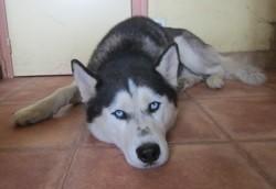 Tsar, chien Husky sibérien