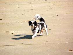 Tsinkha, chien Shih Tzu