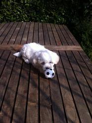 Tsouky, chien Bichon maltais