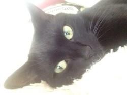 Tsuki, chat Européen