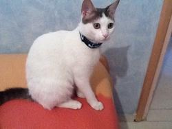 Tsuki , chat Européen