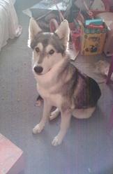 Tsuky, chien Husky sibérien