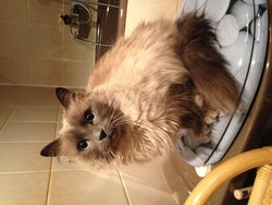 Tsunami, chat Birman