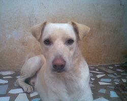 Tu Nedala, chien Labrador Retriever