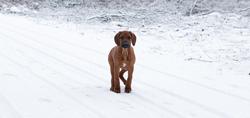 Tuco, chien Rhodesian Ridgeback